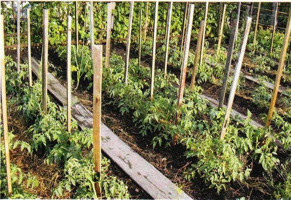 Для этой цели можно (и даже лучше) взять переросшую, вытянувшуюся рассаду.  Все мы знаем: побеги томатов...